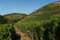 VINEYARDS OF SAINT JOSEPH NEAR CHATEAUBOURG, (07) ARDECHE, RHONE-ALPES, FRANCE