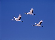 Japanese Cranes flying in blue sky