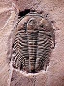 Marjumia is a Cambrian Period trilobite of Utah.
