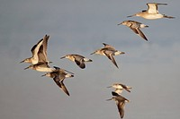 Great Knot (Calidris tenuirostris), Black-tailed Godwit (Limosa limosa) and Terek Sandpiper (Xenus cinereus), mixed flock, in flight, Mai Po, New Terr...