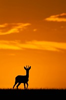 Western Roe Deer (Capreolus capreolus) buck, standing in field, silhouetted at sunset, Norfolk, England, September