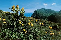 Flowering Buttercups and Great yellow gentian or Bitter root (Gentiana lutea), La Colma, Monte Baldo, Veneto, Italy.