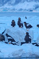Steller?s Sea Eagles resting on iceberg, Hokkaido Prefecture, Japan