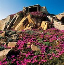 Flowering Elands Sourfig (Carpobrotus acinaciformis) with the remains of military buildings in the area of Punta Rossa in the background, Caprera Isla...