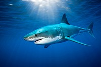 Great White Shark, Carcharodon carcharias, Guadalupe Island, Mexico.