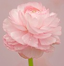 Ranucuclus, Persian buttercup, a Ranunculus asiaticus, pink flower against a pink background.