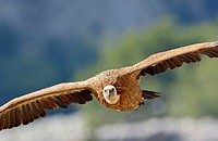 Griffon Vulture Gyps fulvus, Crete