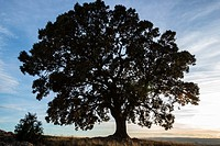 Holm Oak (Quercus ilex), Almansa, Albacete province, Castilla-La Mancha, Spain