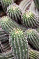 Cactus, Trichcereus Schikendanizii, Jardin Botanico (Botanical Gardens), Valencia, Mediterranean, Costa del Azahar, Spain, Europe