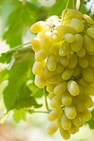 Grapes, Qingnian Rd, Turpan, Xinjiang, Silkroad, China