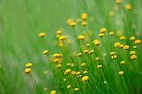 Santolina Flowers