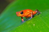 Dart Poison Frog, Blue Jeans, Oophaga pumilio, Dendrobates pumilio,Tropical Rainforest, Costa Rica, Central America, America.