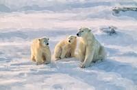 Polat bear with her cubs.