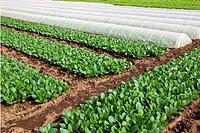 Field of Komatsuna, Japanese mustard spinach, in Ichikawa, Japan