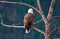 Coeur d´ Alene, Bald Eagle perched in a tree at Coeur d´ Alene Lake near the city of Coeur d´ Alene in northern Idaho.