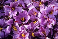 harvest of Saffron flowers crocus sativus, Loiret department, region of Centre, France, Europe