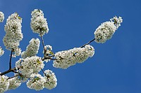 Cherry blossoms (Prunus avium) against blue sky, Bavaria, Germany