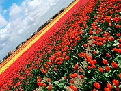 Dutch tulip fields III