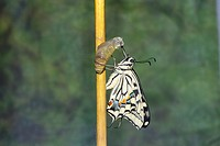 Butterfly emergence yellow swallowtail papilio machaon