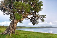 New Zealand, Chatham Island, Tree at shore