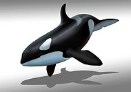 Computer artwork of a female killer whale or orca (Orcinus orca). Orcas are large, predatory dolphins that are found all over the world except in the ...