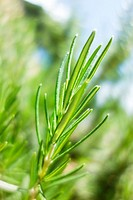 Rosemary leaves.