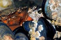 Green crab observing a pholis blenny seeking to take advantage of its meal relief through the mussels. Carcinus maenas and Lipophrys pholis.