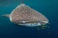 Whale Shark (Rhincodon typus) surrounded by small fish, Cenderawasih (Bird of Paradise) Bay, West Papua, Indonesia.