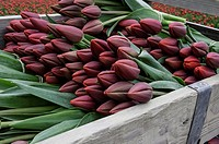 Crates of colorful tulips ready for market from Skagit Valley.LA Conner Washington USA.