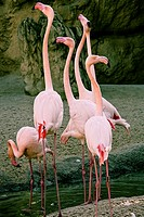 Flamingos, Bioparc, Valencia, Spain.