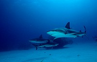 Carribbean reef shark (Carcharhinus perezi), three animals, The Bahamas, Caribbean Sea