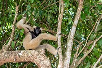 Adult female pileated gibbon (Hylobates pileatus) adopted by monks at Wat Hanchey, Kampong Cham Province, Cambodia (Khmer).