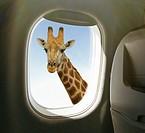 Giraffe view from airplane window.