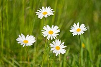 Ox-eye Daisies (Leucanthemum vulgare), flowers, Thuringia, Germany