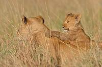 Masai Lioness (Panthera leo nubica) and cub, Mara Triangle, Maasai Mara National Reserve, Narok, Kenya, Africa