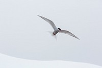 Adult Antarctic tern, Sterna vittata, in flight with fish in its bill in the Enterprise Islands, Antarctica, Southern Ocean.