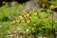 Close-up of lady´s-slipper orchid (Cypripedium calceolus) blossoms in a forest in spring, Upper Palatinate, Germany