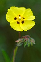 spotted rock-rose (Tuberaria guttata), flower