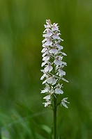 Common Spotted Orchid (Dactylorhiza fuchsii), Cairngorms National Park