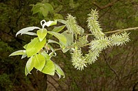 pussy willow, goat willow, great sallow (Salix caprea), branch with female catkins, Germany, Reinland-Pfalz