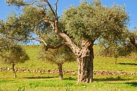 olive tree (Olea europaea ssp. sativa), olive grove on Akamas peninsula, Cyprus, Paphos, Akamas, Neo Chorio