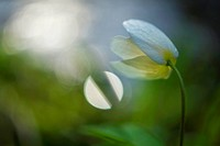 wood anemone (Anemone nemorosa), blossom, Germany