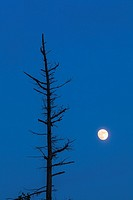 A nearly full moon rises beside a dying tree at dusk. Massasauga Provincial Park, Ontario, Canada.