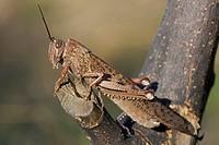 Egyptian grasshopper, Egyptian Locust (Anacridium aegyptium, Anacridium aegypticum), sitting on a branch