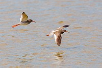 Two Redshanks (Tringa totanus) in flight over water, Lake Neusiedl, Austria