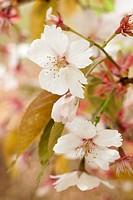 Close-up of spring cherry blossom