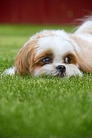 A Maltese Shih Tzu dog outdoors in the grass.