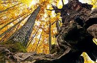 Chestnut grove of ´El Tiemblo´. Iruelas Valley, Sierra de Gredos. Avila, Castilla Leon. Spain.