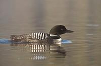 Great Northern Loon (Gavia immer), Common Loon.