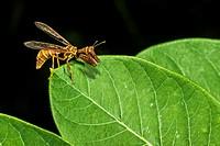 Mantidfly (Climaciella brunnea) Preening and Hunting on Indian Hemp (Apocynum cannabinum) Leaf.